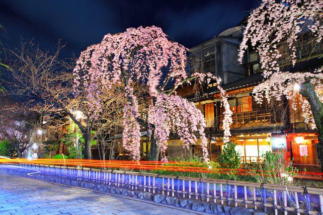 泣ける京都の桜物語。京で愛される桜に隠された5つの感動エピソード