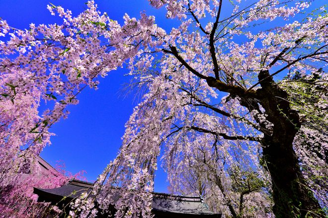 週末、出かけられないあなたへ。泣けるほど美しい桜とツツジの映像