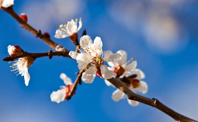 【豆知識】知らなかったよ。沖縄でソメイヨシノが咲かないとは…